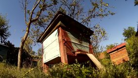 Bees are flying into beehive wooden boxes in the garden in th ukrainian vilage. stock video footage