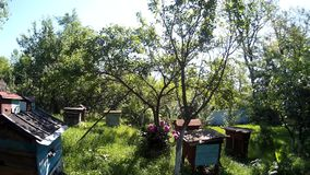 Bees are flying into blue beehive wooden boxes in the garden in the ukrainian vilage. stock video