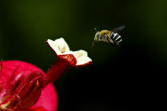 Bees flying for foraging. Around flower Stock Image