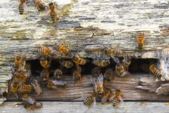 Bees flying from the hive. Bee family stock photos