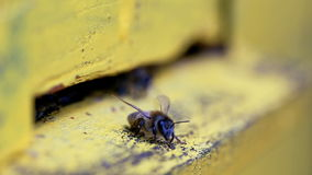 Bees flying in and out beehive close up stock video footage