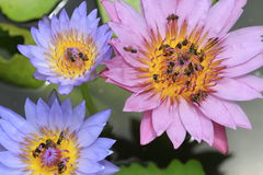 Bees flying in and out waterlily Stock Photography
