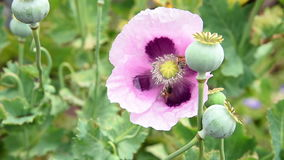 Bees flying pollinate opium poppy flower stock video