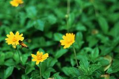 Bees are flying to the yellow flowers, on a natural background stock photos