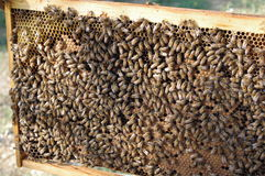 Bees on a frame. With brood Stock Images