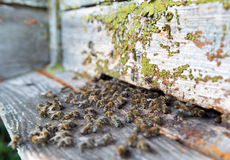 Bees in front of a beehive Royalty Free Stock Image
