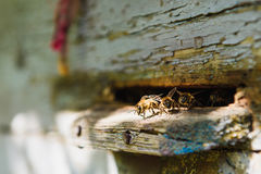 Bees at front hive entrance. Close-up Royalty Free Stock Images