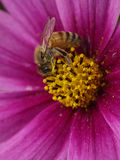 Bees gather pollen. Bees collect flower nectar Royalty Free Stock Images