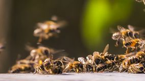 The bees gathered in the group. The bees gathered in a group on a drop of honey. Close-up stock footage