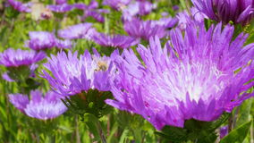 Bees gathering pollen from a purple flower garden  Royalty Free Stock Photo