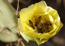 Bees gathering pollen. Some bees gathering pollen in a cactus flower royalty free stock photo