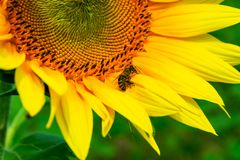 Bees gathering pollen of the sunflower. Insect on yellow flower close up royalty free stock photo