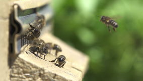 Bees go in and out in the hive. stock footage