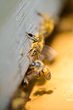 Bees going out frame. Bees going out of the frame Royalty Free Stock Photo