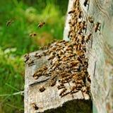 Bees at the entrance. Stock Photos