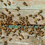 Bees at the entrance. Royalty Free Stock Image
