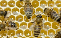 Work of bees inside hive. They convert nectar into honey. Stock Images