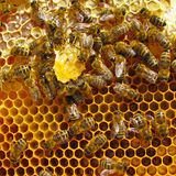 Bees having sweet honey dinner. Inside beehive. Close up macro photo stock photos