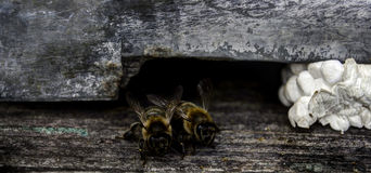 Bees HDR. Bees at the entering a beehive. HDR photo royalty free stock images