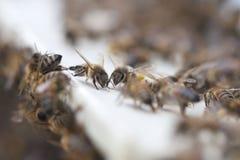 Bees at hive. Bees at hive entrance Stock Photo