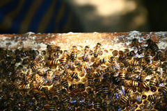 Bees on the hive Stock Photography