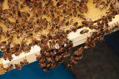 Bees Royalty Free Stock Photo