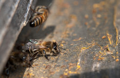 Bees on hive Royalty Free Stock Image