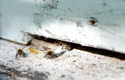 Bees on hive Royalty Free Stock Photography