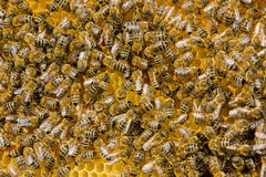 Bees on a hive. Closeup of bees on a honeycomb of a big hive Stock Image