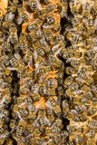 Bees on a hive Stock Image