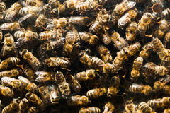 Bees in hive Royalty Free Stock Photo