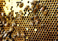 Bees in the hive convert nectar to honey Royalty Free Stock Photos