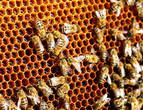 Bees in the hive convert nectar to honey. Apiculture Stock Photo