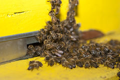 Bees and hive entrance Royalty Free Stock Photo