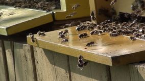 Bees at the hive entrance stock video