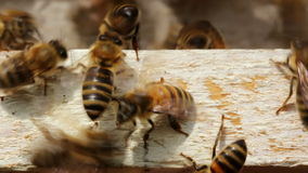 Bees at the hive entrance stock video footage
