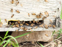 Bees at  hive entrance. Stock Image