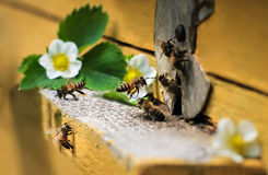 Bees on hive. Bees fly in hive. White flowers of strawberry. Green leaf Royalty Free Stock Photo