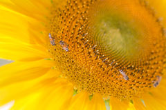 Bees hive pollinate sunflower Royalty Free Stock Image