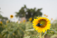 Bees hive pollinate sunflower Stock Images