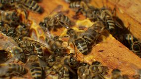 Bees in hive produce wax and build honeycombs from it. Bees in the hive produce wax and build honeycombs from it stock video