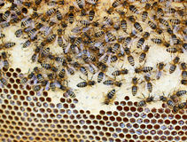 Bees in the hive Stock Photography