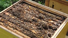 Bees in the hive. stock video