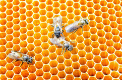 Bees honey cells Stock Images