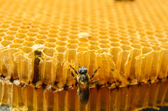 Bees honey cells Stock Photography