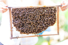Bees on honey cells, Vietnam. Bees on honey cells at beekeeping farm in Vietnam, Mekong delta Royalty Free Stock Photography