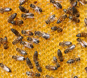 Bees Royalty Free Stock Photos