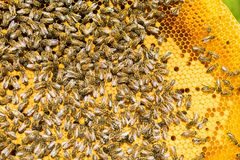 Bees on honey frame. Beekeeping work on the apiary. Close-up. Selective focus. Horizontal frame royalty free stock photos