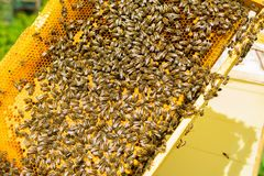 Bees on honey frame. Beekeeping work on the apiary. Close-up. Selective focus. Horizontal frame stock photography