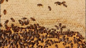 Bees, honey, larvae and cocoons. Honey drops movement. stock video